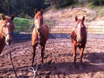 Equine-staff